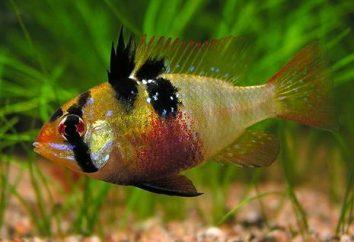 Une beauté brillante, un apistogramme de ramirezi et son contenu dans un aquarium