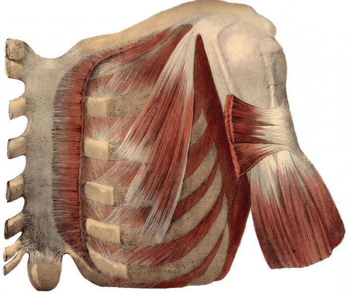anatomía humana: el músculo subclavio
