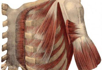 Anatomia człowieka: mięsień podobojczykowej