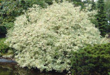 Arbusto corniolo: specie, semina, cura