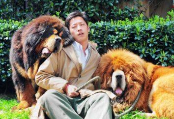 ¿Cuánto es un mastín tibetano en Rusia y China. Registros y razones