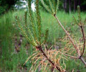 Pine Sawfly: metody walki