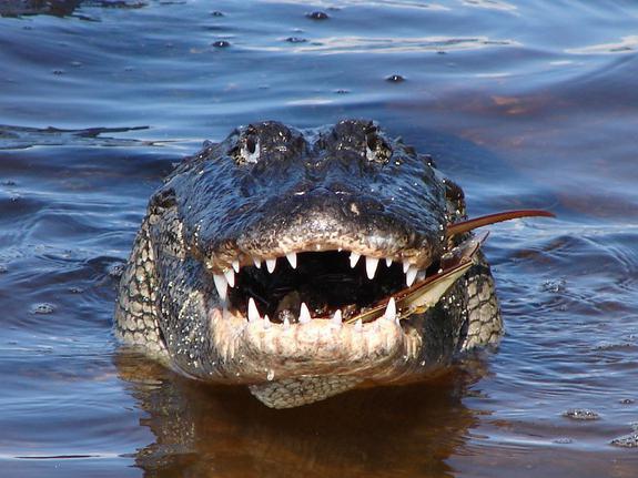 was fressen alligatoren