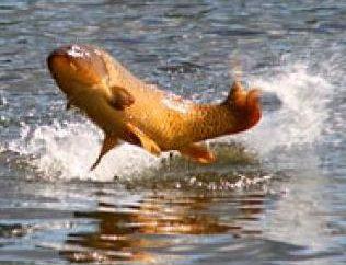 Dlaczego Japończycy wierzą, że karp – ryby, protoplasta wszystkich ryb?