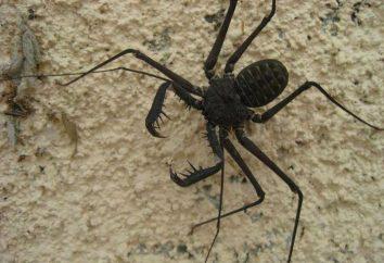 Fryne (pająk): opis, zdjęcia, styl życia