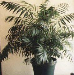 elegans chamedora (chamedora elegans) lub pokój palma: opieka w domu i zdjęcia