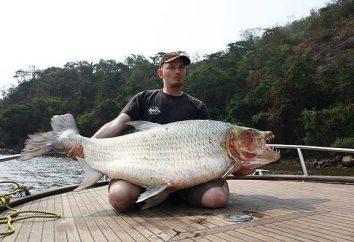 Golias Tiger Fish – um predador do rio Congo