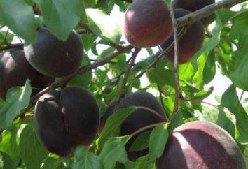"""Negro albaricoque """"Príncipe Negro"""": descripción de la variedad, especialmente el cultivo y comentarios"""