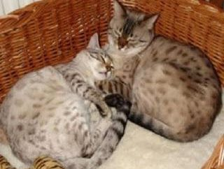 Cómo cuidar a los gatos? Cómo cuidar a un gato embarazada?
