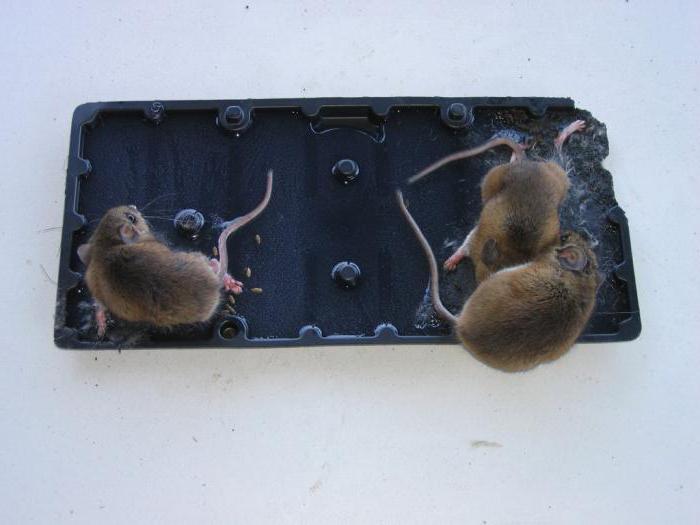comment se dbarrasser des rats dans une maison comment se debarrasser des souris dans vos murs. Black Bedroom Furniture Sets. Home Design Ideas