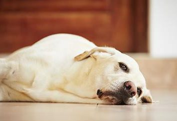 Wodogłowie u psów: Objawy i leczenie