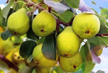 variétés de poires Uralochka: description, plantation et les soins