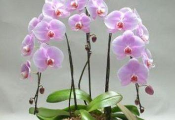 Come arrivare un'orchidea a fiorire più volte l'anno?
