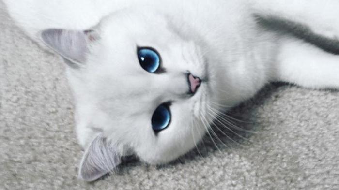 Come razza chiamato gatto blu con gli occhi azzurri for Gatti con occhi diversi