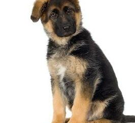 Quels sont le surnom approprié pour le chien – pour un berger allemand?