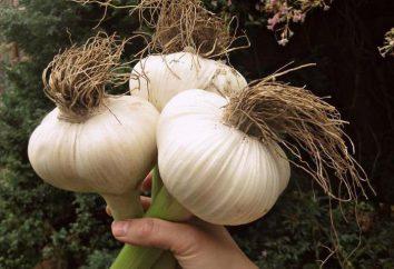 Prichesnochny cebolla Rocambole: plantación y cuidados