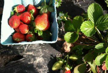 La plantation des fraises sous le matériau de revêtement noir: technologie, photo, avis