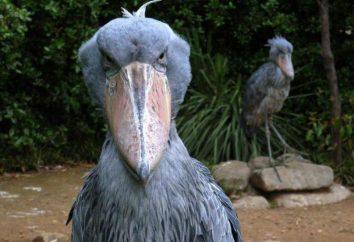 Królewski Heron: zdjęcia, opis