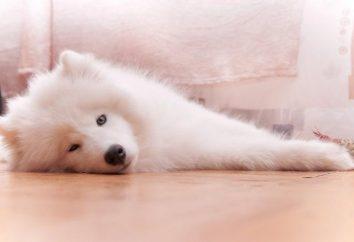 Oddany i lojalny Samoyed husky