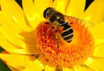Zabrus: proprietà terapeutiche e l'uso del prodotto. Utile di Zabrus miele?