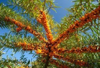 Quando e come raccogliere bacche di olivello spinoso?