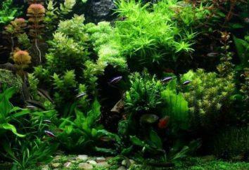 Glony akwarium: rodzaje i tytuły