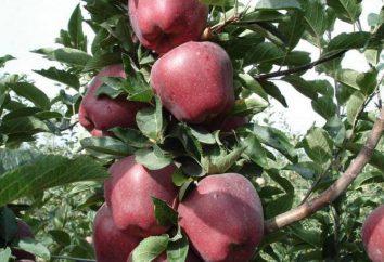 Red melo capo: descrizione, la semina e la cura