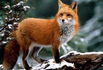 Opis Fox: wygląd, nawyki żywieniowe