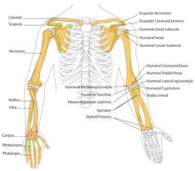 Das Skelett einer menschlichen Hand: die Struktur. Menschliches ...