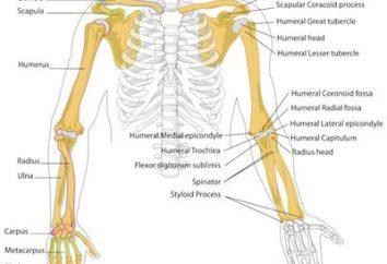 El esqueleto de una mano humana: la estructura. Esqueleto humano de la mano