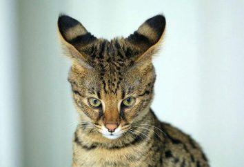 Najpiękniejsze koty świata. Lista ras ze zdjęciami