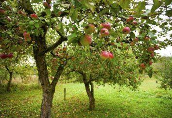 E 'possibile piantare un albero di mele vicino alle ciliegie? Compatibilità degli alberi del giardino