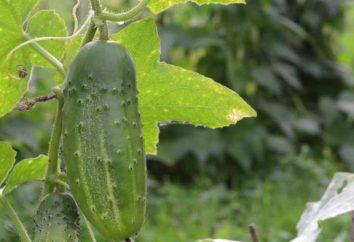 Cetrioli Marinda: caratteristiche di coltivazione e la cura