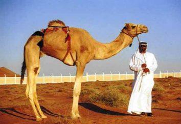 Camel: Sogno Miller, l'interpretazione islamica sogno. Perché il sogno di cammelli?