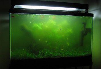 Pourquoi l'eau est verte, et comment y faire face dans un aquarium?