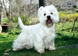 West Highland White Terrier: Opis charakter i opinie Kennel (foto)