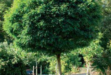 """Zhamalistovoe árbol: creadores de ficción de los dibujos animados """"Smeshariki"""" o planta real?"""