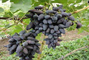 Grade vichingo (uva): descrizione, la coltivazione, recensioni