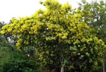 Acacia d'argento a casa: la coltivazione e la cura. Acacia semi d'argento