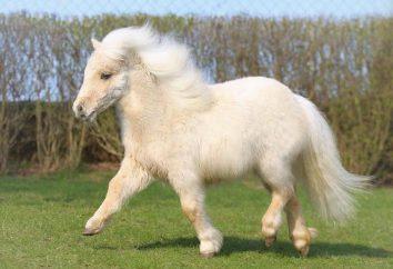 poneys Shetland: description de la race, un soin particulier et de l'élevage. petit cheval