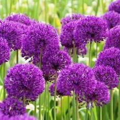 Dekoracyjny łuk – interesująca roślina do dekoracji ogrodów, trawników i trawniki