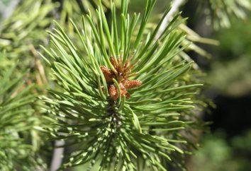 Combien d'années d'aiguilles de pin vivant. secrets de la forêt