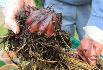 Regal lilie: reprodukcja na kilka sposobów