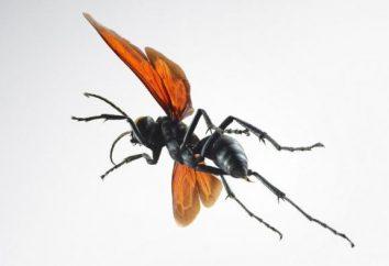 guêpe araignée et leur description
