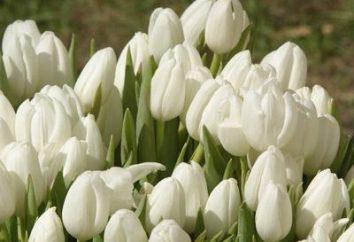 Tulipani bianchi – fiori di primavera nel vostro giardino