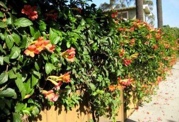 Najpopularniejsze rośliny wspinaczka na ogrodzenia