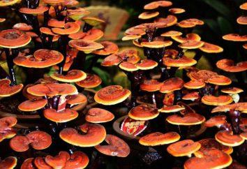 Fungo Ganoderma: proprietà terapeutiche e applicazioni. Recensioni di medici e pazienti