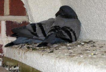 Verwenden Sie die Taubenkotreinigung als Dünger
