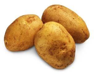 pommes de terre à haut rendement. La culture de la technologie néerlandaise
