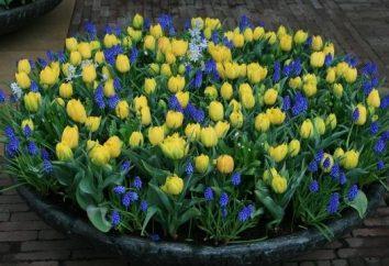 Lorsque les tulipes plantées: les secrets de plus en plus